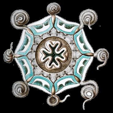 Aeginura_grimaldii_by_Haeckel