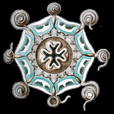 Aeginura grimaldii