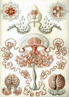 Anthomedusa (Anthomedusae)