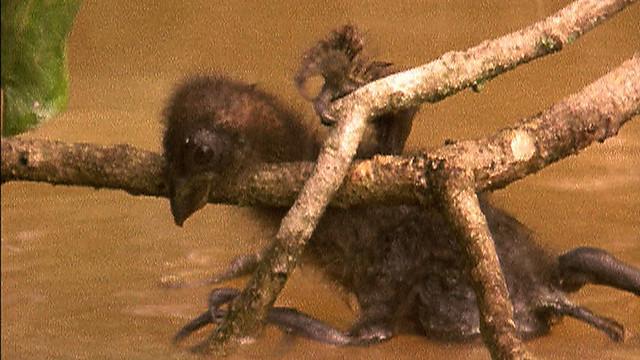 hoatzin-chick