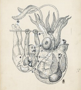 human and octopus internal organ placement