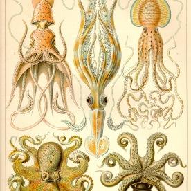 Cephalopod (Gamochonia)
